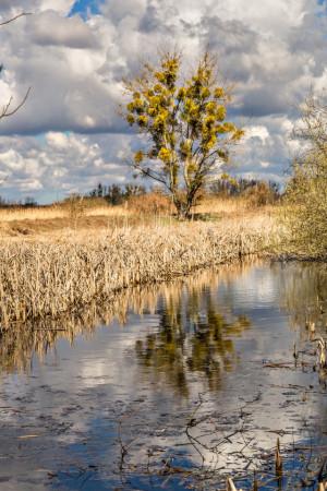 Klicken Sie auf das Bild des Tages im Fotoportal: Mistelbaum – © VDNAxel Küster - Nuthe-Nieplitz