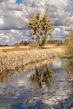 Klicken Sie auf das Bild des Tages im Fotoportal: Mistelbaum 2 – © VDNAxel Küster - Nuthe-Nieplitz