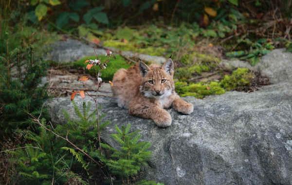 Klicken Sie auf das Bild des Tages im Fotoportal: Nachwuchs – © VDNFritz Eichmann - Bayerischer Wald