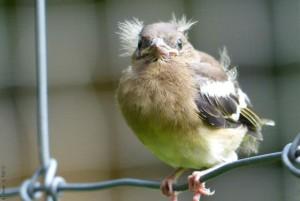 Klicken Sie auf das Bild des Tages im Fotoportal: Nestling – © VDNkeksratz - Frankenwald