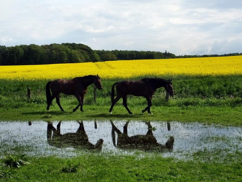Pferde, Raps und Wald – © VDNIlona Kompanik - Schönbuch