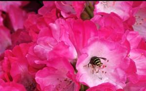 Klicken Sie auf das Bild des Tages im Fotoportal: Sächsische Wespe im Norden – © VDNDieter Matthe - Lüneburger Heide