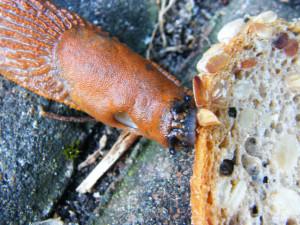 Klicken Sie auf das Bild des Tages im Fotoportal: Schnecke beim Fressen – © VDNIlona Kompanik - Schlei