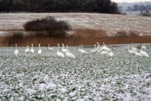 Schwäne äsen im Winter auf dem Feld – © VDNRenate Reinbothe - Sternberger Seenland