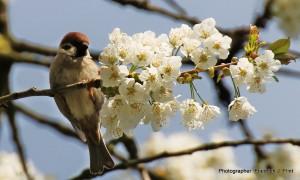 Klicken Sie auf das Bild des Tages im Fotoportal: Sperling im Kirschbaum – © VDNFriedrich J. Flint - Lauenburgische Seen