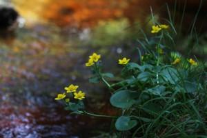 Klicken Sie auf das Bild des Tages im Fotoportal: Sumpf-Dotterblume – © VDNBrezina Peter - Fichtelgebirge