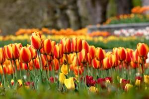 Tulpenmeer – © VDNChristel Kessler - Fränkische Schweiz - Veldensteiner Forst