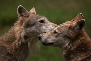 Klicken Sie auf das Bild des Tages im Fotoportal: Wölfe – © VDNMatze - Stromberg-Heuchelberg