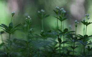 Klicken Sie auf das Bild des Tages im Fotoportal: Waldmeister – © VDNBrezina Peter - Fichtelgebirge