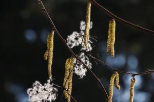Klicken Sie auf das Bild des Tages im Fotoportal: Waldrebe – © VDNchristel kessler - Saar-Hunsrück