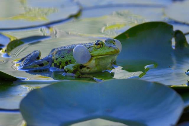 Klicken Sie auf das Bild des Tages im Fotoportal: Wasserfrosch mit Schallblase – © VDNErich Tomschi - Schönbuch