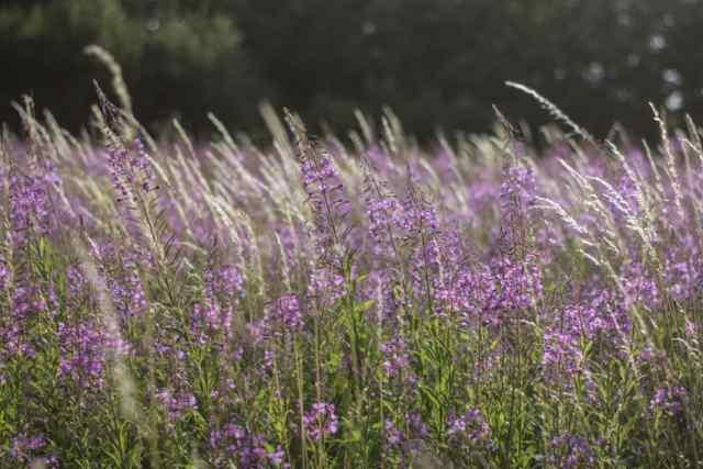 Klicken Sie auf das Bild des Tages im Fotoportal: Weidenröschen – © VDNingeborg m. - Bergisches Land