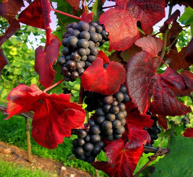 Klicken Sie auf das Bild des Tages im Fotoportal: Weintrauben – © VDNThalhäuser - Stromberg-Heuchelberg