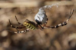 Klicken Sie auf das Bild des Tages im Fotoportal: Wespenspinne I – © VDNchristel kessler - Saar-Hunsrück