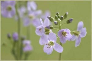 Klicken Sie auf das Bild des Tages im Fotoportal: Wiesenschaumkraut-Frühling - (c)VDNUlrike Sobick -  Rheinland