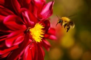 Wildbiene unterwegs – © VDNSchönmüller - Roland Schönmüller