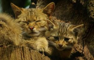 Klicken Sie auf das Bild des Tages im Fotoportal: Wildkatze mit Nachwuchs –© VDNGudrun Treuke-Daglioglu - Weserbergland