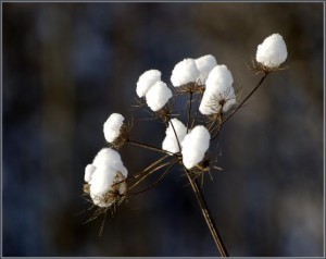 Winterblume – © VDNDieter Lorenz - TERRA.vita