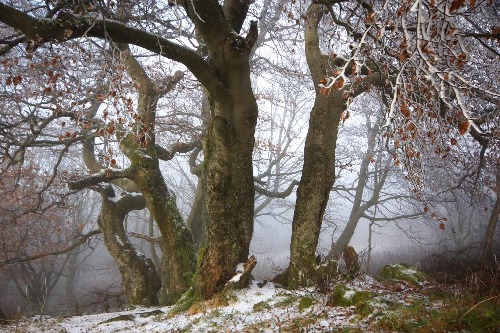 Klicken Sie auf das Bild des Tages im Fotoportal: Winterbuchen – © VDNAndreas Gick - Bayerische Rhön