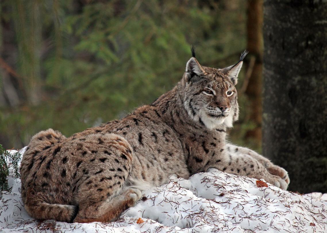 Winterluchs – © VDNAngelika Hecht - Bayerischer Wald