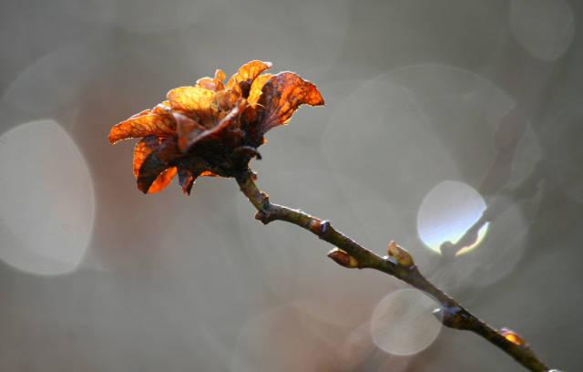 Klicken Sie auf das Bild des Tages im Fotoportal: Winterrose – © VDNJörg Willems - Rothaargebirge