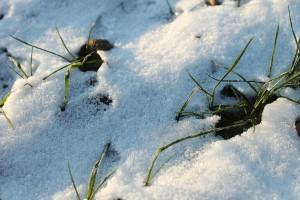 Winterweizen – © VDNFriedrich J. Flint – Lauenburgische Seen