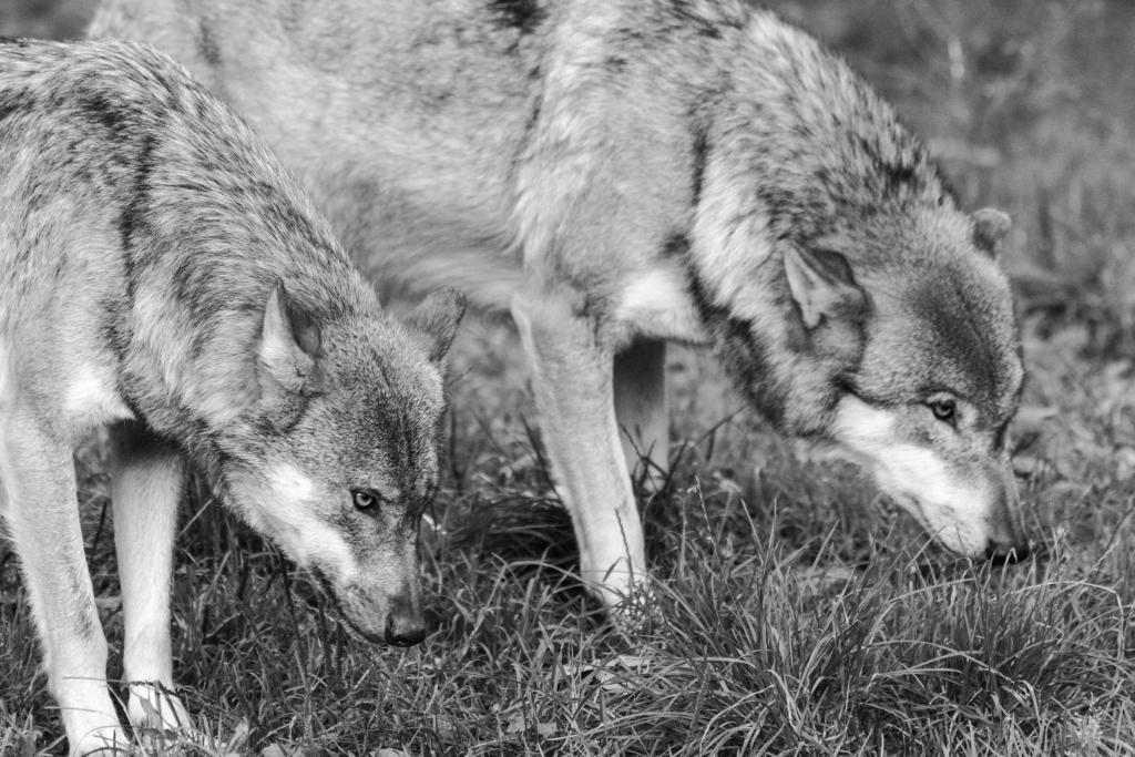 Klicken Sie auf das Bild des Tages im Fotoportal: Wolf – © VDNMargrit Glatz  - Weserbergland