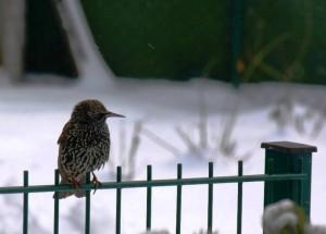 Zu früh gekommen - nur Schnee – © VDNDieter Becker - Westhavelland