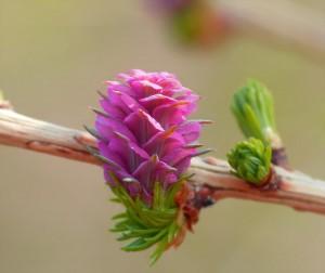 Klicken Sie auf das Bild des Tages im Fotoportal: die Lärche blüht - © VDNbaude - Deutsch-Belgischer Naturpark Hohes Venn - Eifel