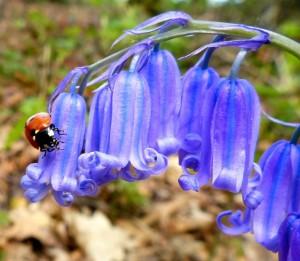 die blaue Maiblume – © VDNbaude - Deutsch-Belgischer Naturpark Hohes Venn - Eifel
