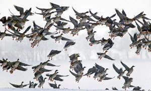 flucht (c)VDN-blum / Lauenburgische Seen