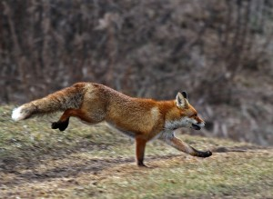 fox-on-the-run- (c) VDN - Angelika Hecht / Schönbuch