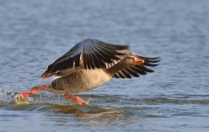 Klicken Sie auf das Bild des Tages im Fotoportal: full speed..... – © VDNblum - Lauenburgische Seen