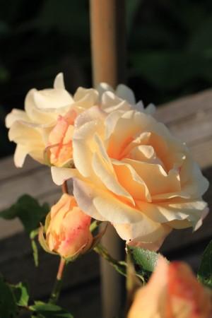 goldene Rose – © VDNStrombergwolf - Stromberg-Heuchelberg