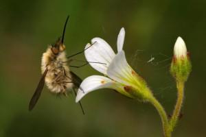 Klicken Sie auf das Bild des Tages im Fotoportal: großer wollschweber – © VDNWiethold Stölzner – Dübener Heide