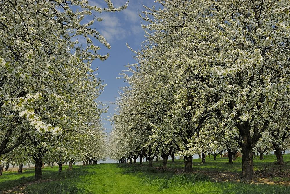 Kirschbaumblüte, Ottersweier, (c) VDN-Erich Tomschi / Schwarzwald Mitte/Nord