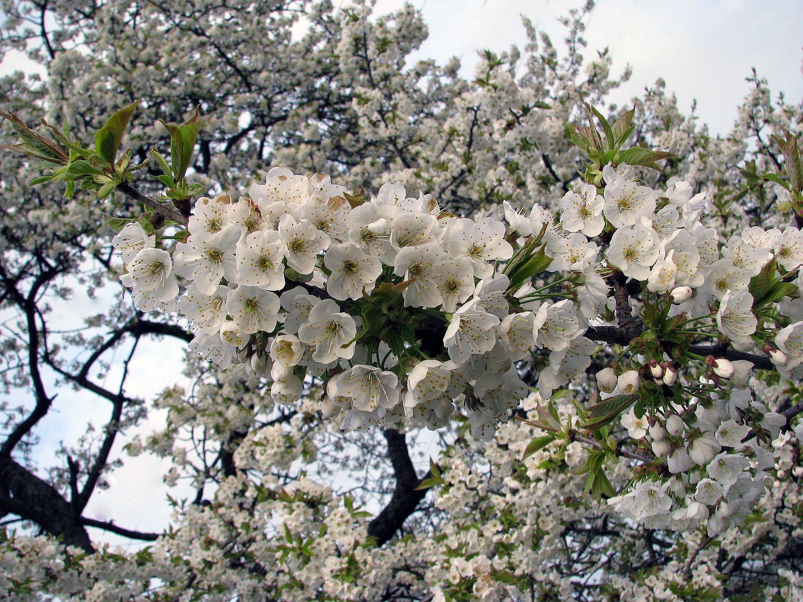 kirschblüten-(c)VDN-Saskia31 / Schwäbisch-Fränkischer Wald