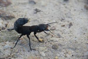 Klicken Sie auf das Bild des Tages im Fotoportal: schwarzer Moderkäfer – © VDNbaude - Deutsch-Belgischer Naturpark Hohes Venn - Eifel
