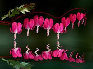 Klicken Sie auf das Bild des Tages im Fotoportal: tränende Herzen – © VDNMax Striegl - Nördlicher Oberpfälzer Wald