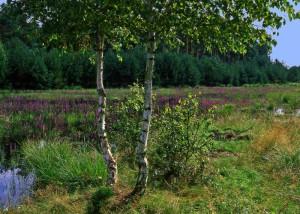 Im Hochsommer blüht der Blutweiderich in den Sumpfflächen