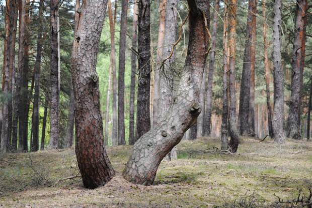 Bauernkiefer Hofjagdweg web 620x414 Wandertipp zwischen den Jahren: Rund um die Heideseen von Groß Köris