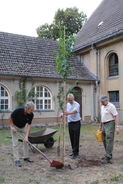 Denkmalatg Pflanzung Maulbeere Ein Maulbeerbaum für die Dankeskirche Halbe