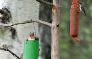 Eichhörnchen (Foto: Klaus Weber)