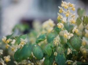 Elfenblume (Foto: Sonnenberg)