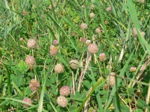 Erdbeerklee (Foto: Naturwacht dahme-Heideseen)