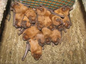 Große Abendsegler in einer Fledermaushöhle (© Naturwacht Archiv)