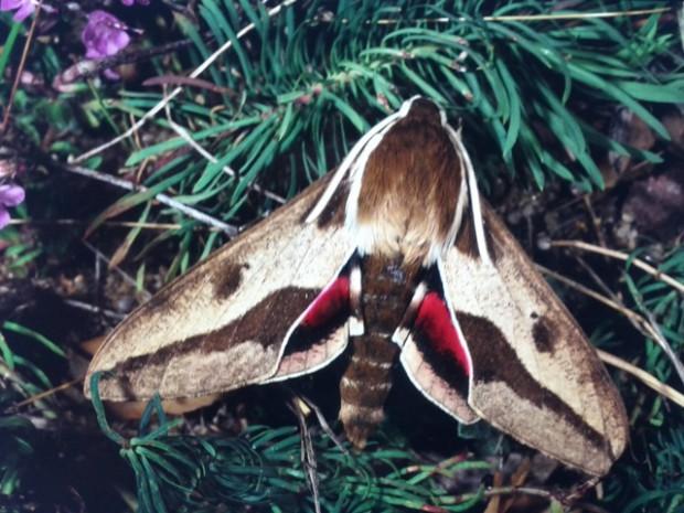 IMG 20140127 111404 620x465 Wolfsmilchschwärmer   Schmetterling des Jahres 2014