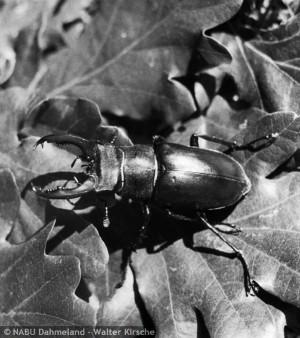 Hirschkäfer in der Dubrow. Die seltenen Käfer wurden von Adolf Straus und Walter Kirsche beobachtet und fotografiert Foto: Archiv NABU Dahmeland - W. Kirsche (www.bildarchiv-nabu-dahmeland.de)