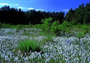 Fruchtendes Wollgras in einem Zwischenmoor im Naturschutzgebiet schwenower Forst (Foto: www.bildarchiv-nabu-dahmeland. - W. Klaeber)