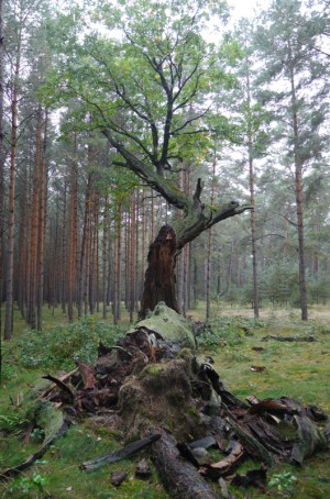 Königseiche im Herbst 2015 nach dem Zusammenbruch des alten Stammes (Foto: Zeitlow)